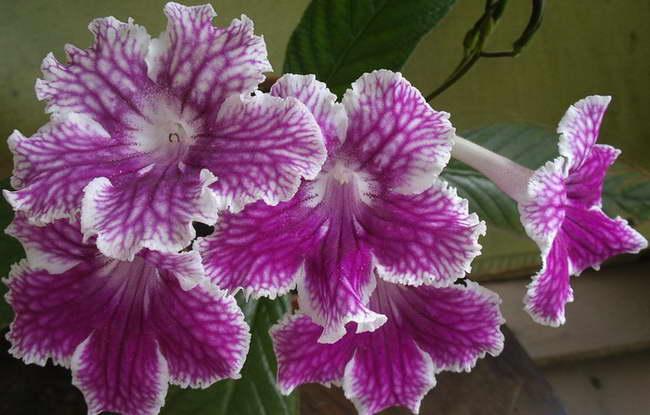 Стрептокарпус Бристолз Петикёатс Streptocarpus Bristol`s Petticoats фото
