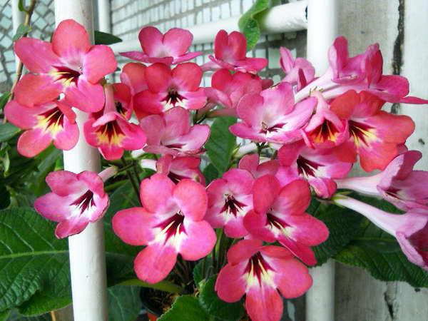 Стрептокарпус Streptocarpus Salmon Sunset фото