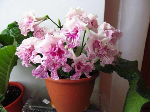 Стрептокарпус выращивание и уход в домашних условиях фото