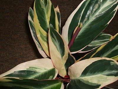 Строманта почему скручиваются листья фото