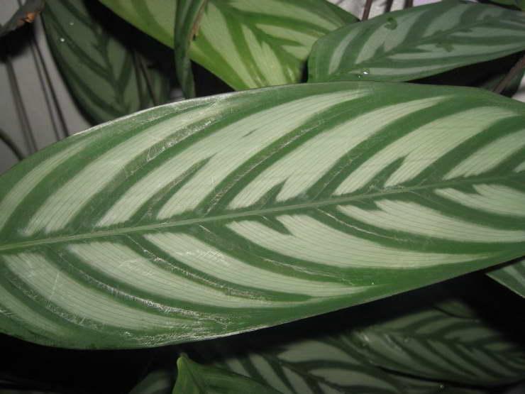 Строманта приятная Stromanthe amabilis фото