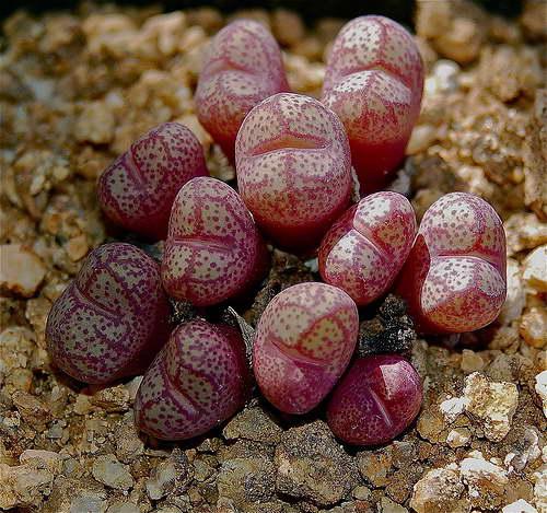 Суккулент литопс конофитум Lithops Conophytum фото Как выращивать