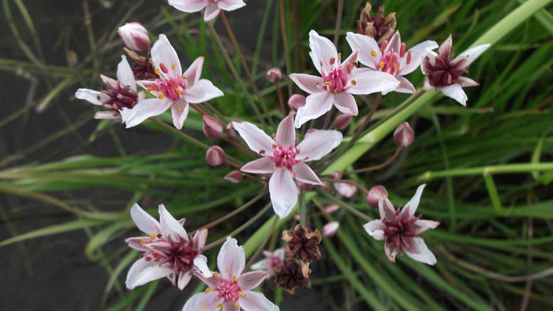 Сусак зонтичный Butomus umbellatus фото растения