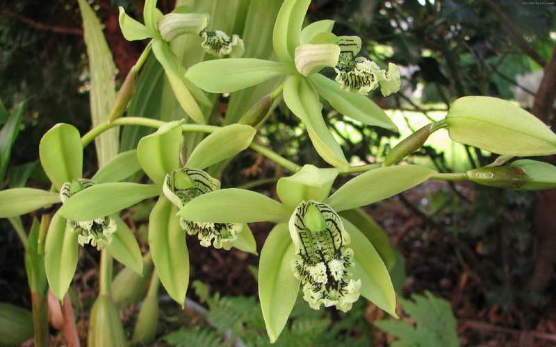 Целогина пандурата Coelogyne pandurata фото