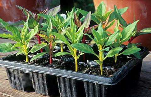 Целозия гребенчатая выращивание из семян в домашних условиях фото рассады