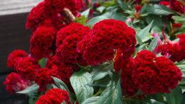 Целозия петушиный гребешок фото цветения Как посеять семенами в грунт