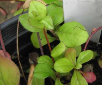 Цератостигма или плюмбаго выращивание из семян фото рассады