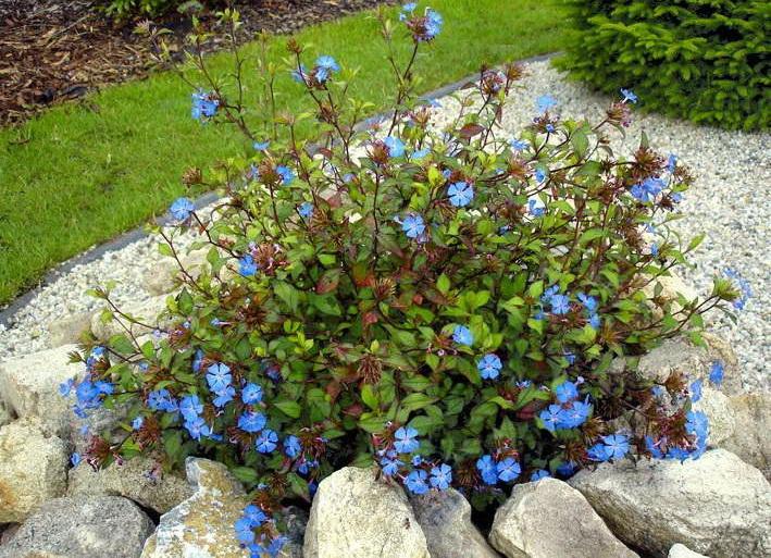 Цератостигма или свинчатка китайская сорт forest blue фото