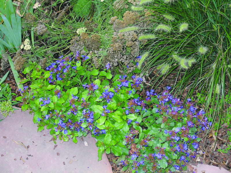 Цератостигма на клумбе фото с другими цветами