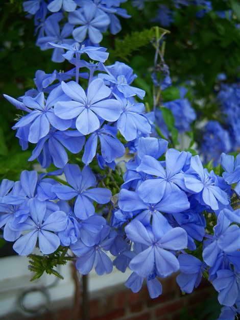 Цератостигма ушковая Ceratostigma Auriculata Imperial Blue фото