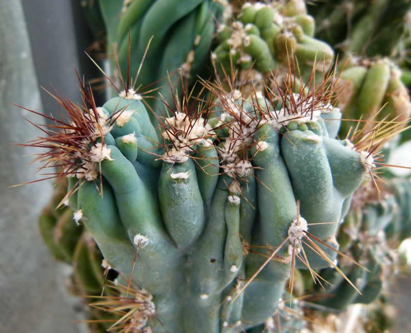 Цереус монстрозный или скалистый Cereus monstruosus фото