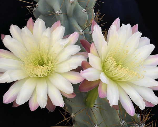 Цереус перувианский монстрозная форма как цветет фото
