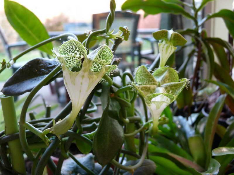 Церопегия Сандерсона Ceropegia sandersonii фото цветения