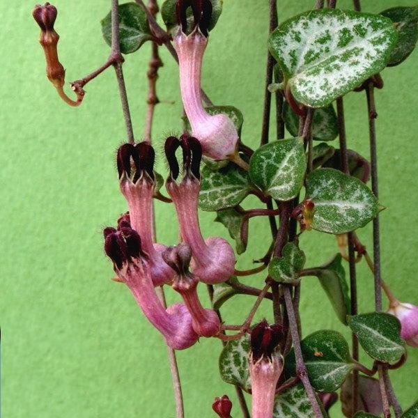 Церопегия Вуду Ceropegia woodii фото цветения