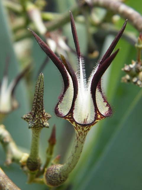 Церопегия стапелиевидная Ceropegia stapeliiformis фото цветения