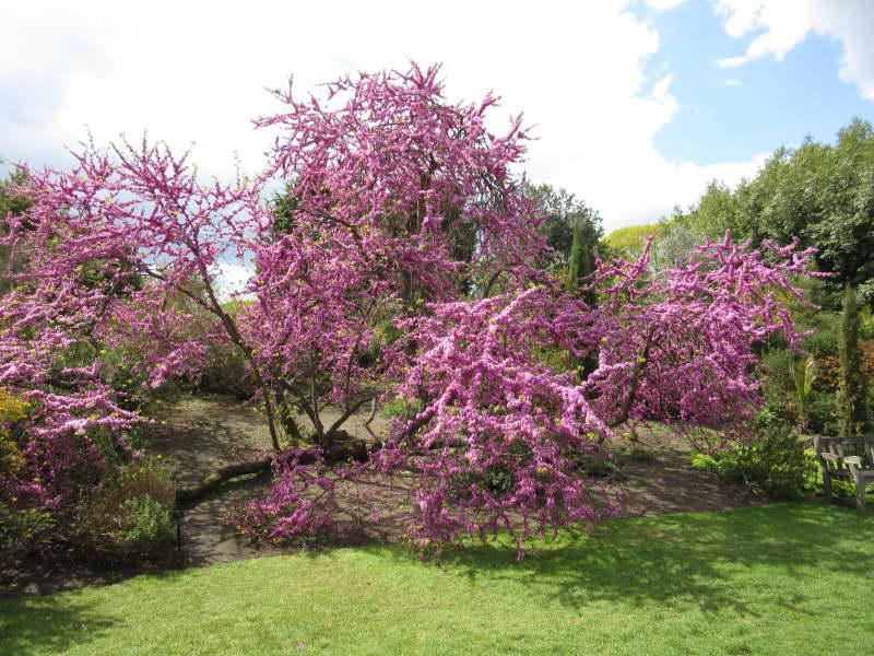 Церцис европейский иудино дерево фото