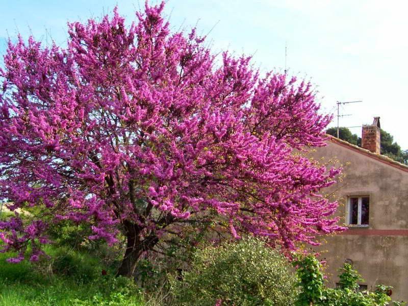 Церцис европейский иудино дерево в ландшафтном дизайне фото