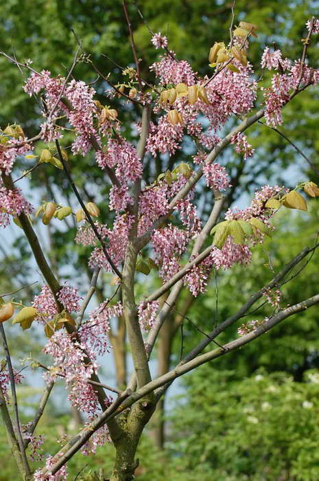 Церцис кистистый Cercis racemosa фото