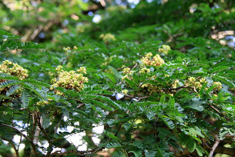 Цезальпиния дубильная Caesalpinia coriaria фото