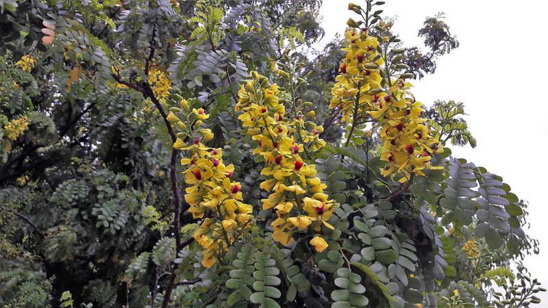 Цезальпиния ежоваяPaubrasilia echinata фото