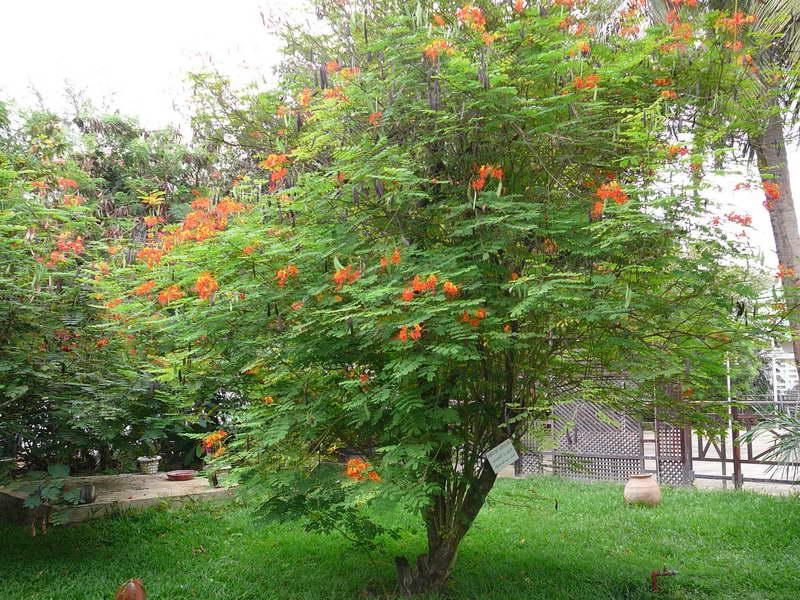 Цезальпиния красивейшая фото в саду