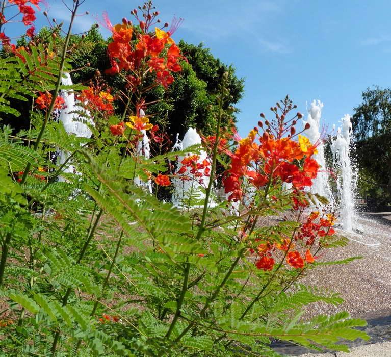 Цезальпиния прекраснейшая Caesalpinia pulcherrima фото