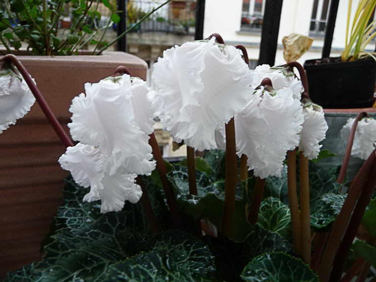 Цикламен Белиссима Cyclamen Bellissima фото