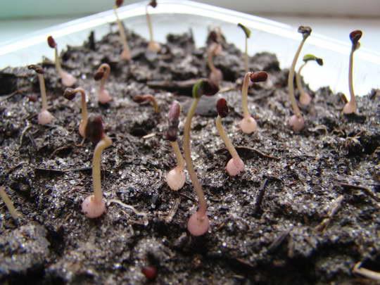 Цикламен из семян фото всходов