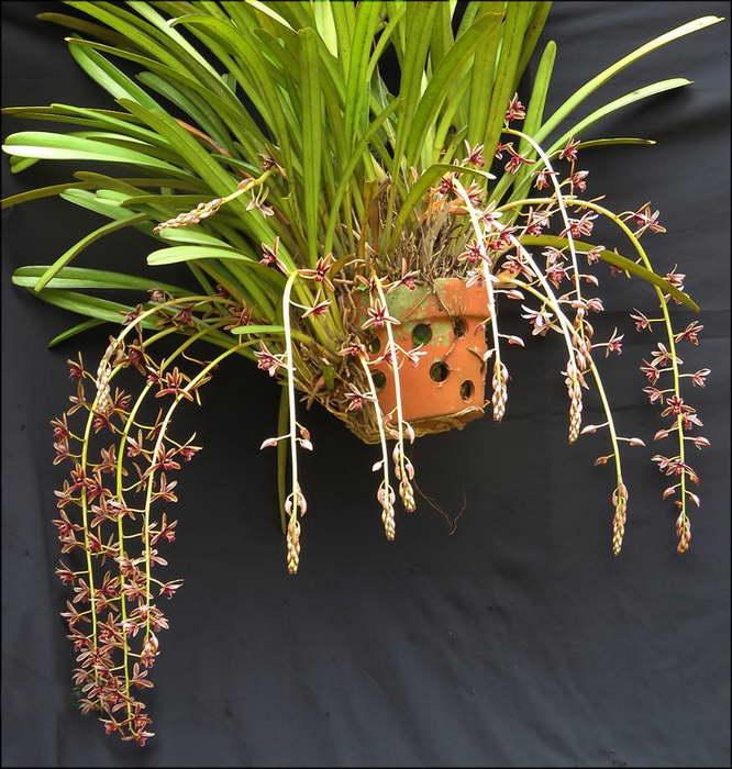 Цимбидиум алоэлистный Cymbidium aloifolium фото