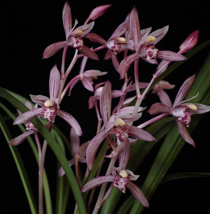 Цимбидиум мечелистный Cymbidium ensifolium фото