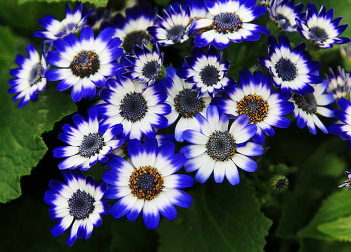 Цинерария синяя фото