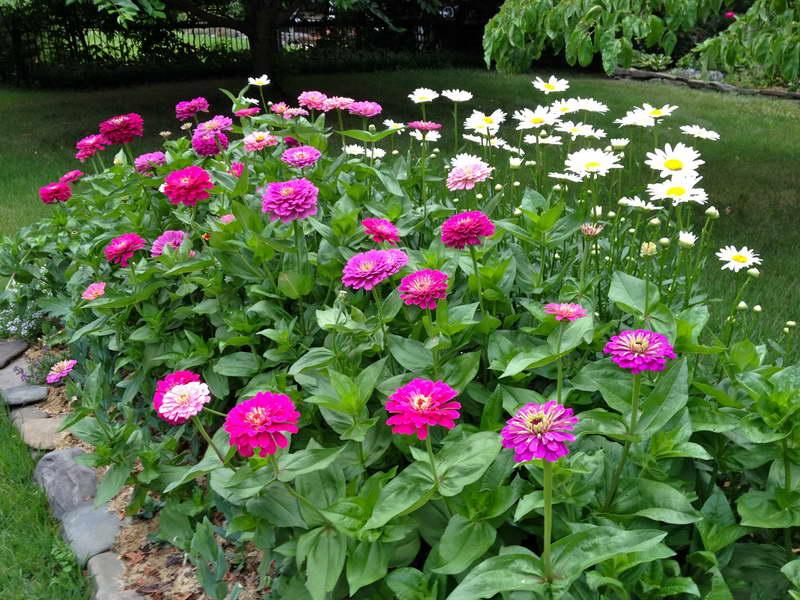 Цинния в саду сочетание с белыми ромашками фото