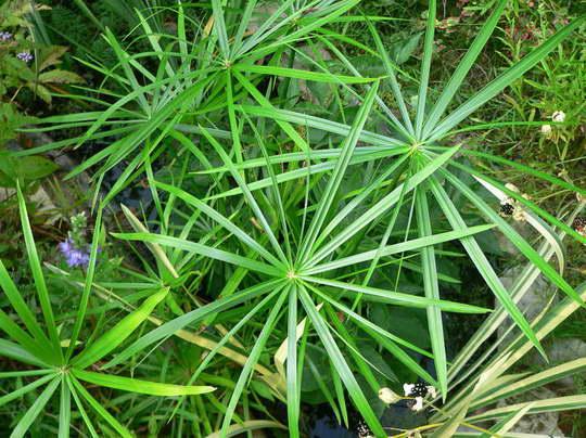 Циперус успешно выращивается в искусственных водоемах и аквариумах фото