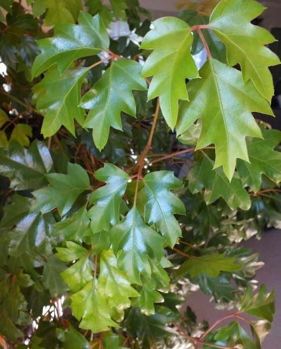 Циссус ромболистный или ромбический Cissus rhombifolia сорт Ellen Danica фото