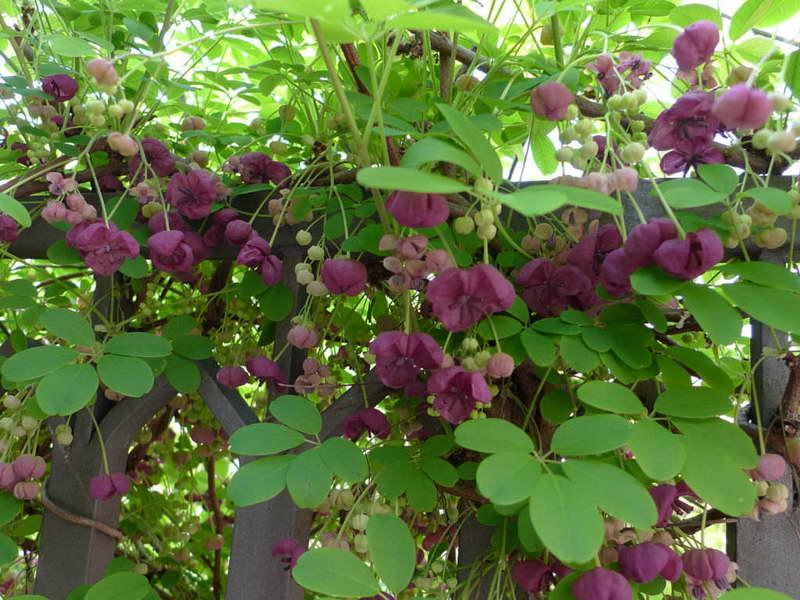 Цветение акебии фото