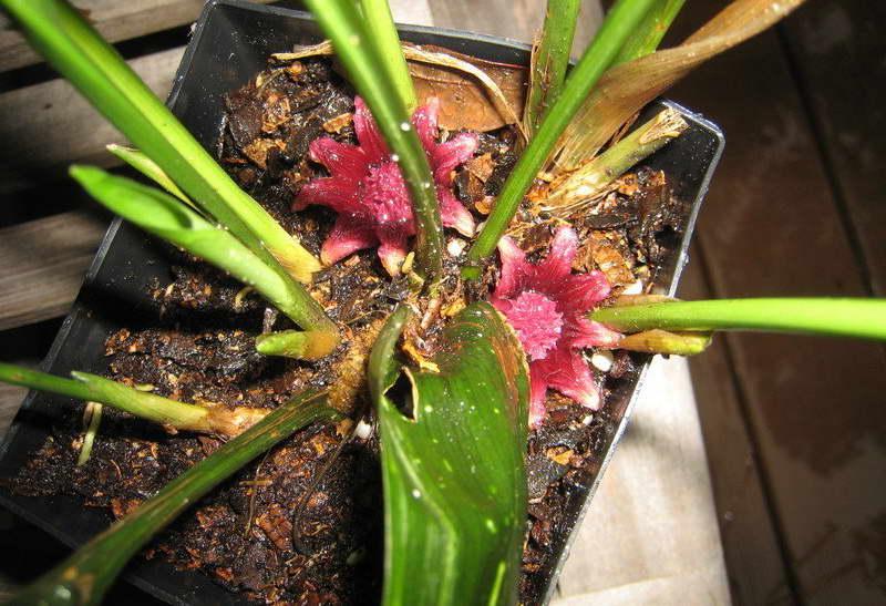Цветение аспидистры элатиор фото Как цветет аспидистра Аспидистра цветущая