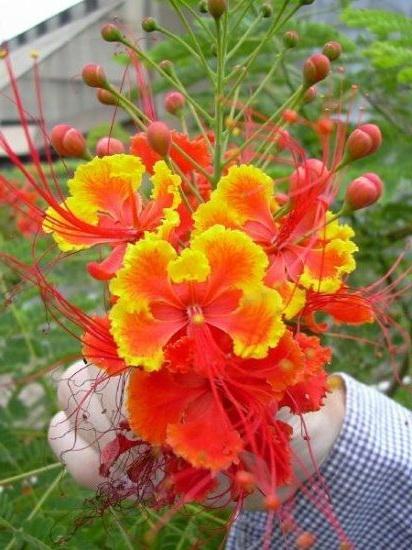 Цветение цезальпинии