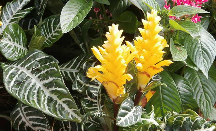 Цветок афеландра как за ним ухаживать после цветения