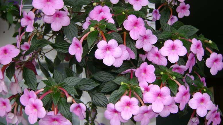 Цветок ахименес уход и размножение Ахименесы сорта и фото
