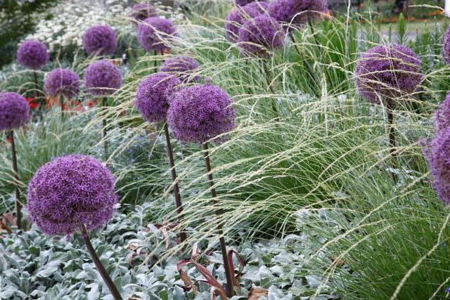 Цветок аллиум выращивание и уход Allium 'Globemaster'