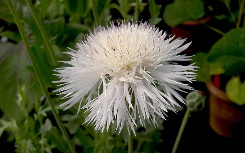 Цветок амбербоа фото