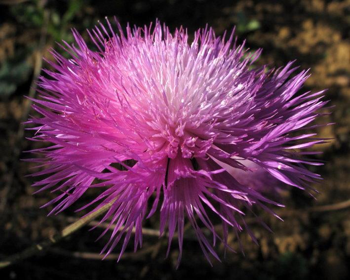 Цветок амбербоа мускатная Amberboa moschata