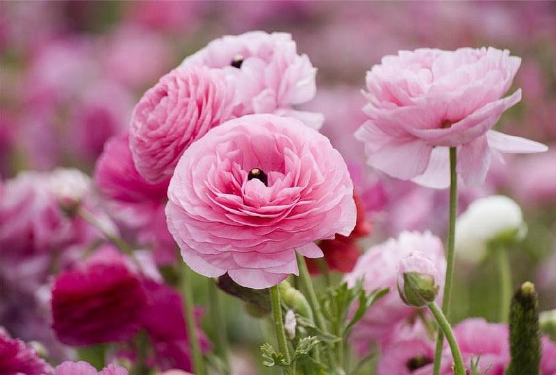 Цветок анемона многорассеченная