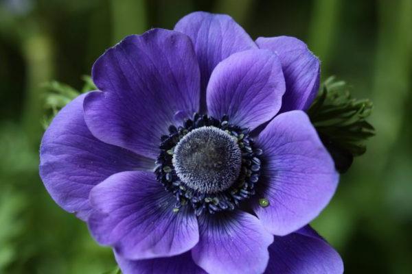Цветок анемона посадка и уход