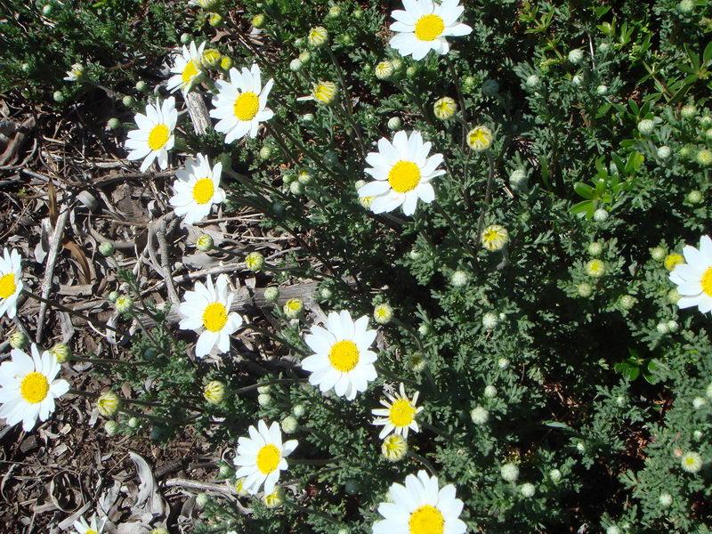 Цветок антемис Anthemis maritima фото