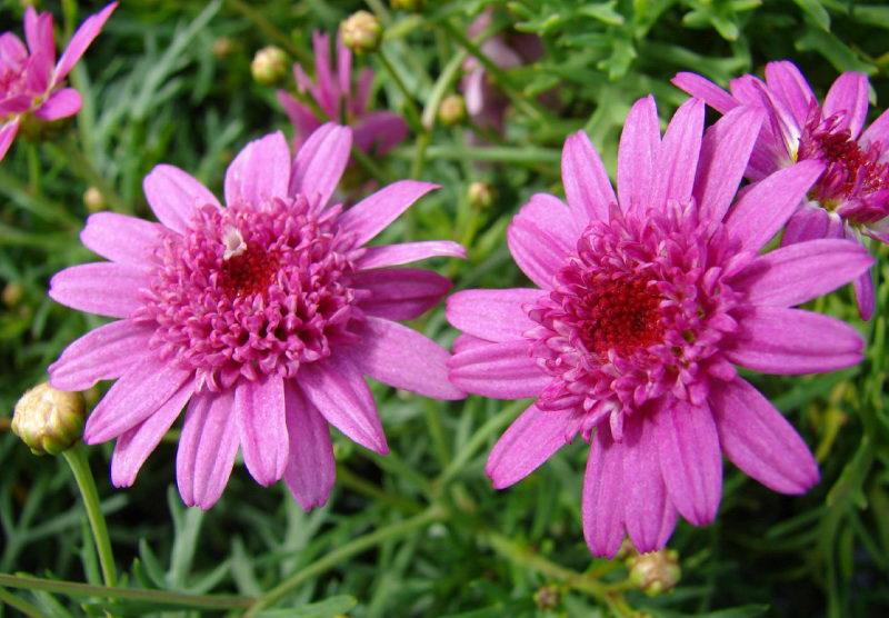 Цветок аргирантемум посадка Argyranthemum-frutescens фото