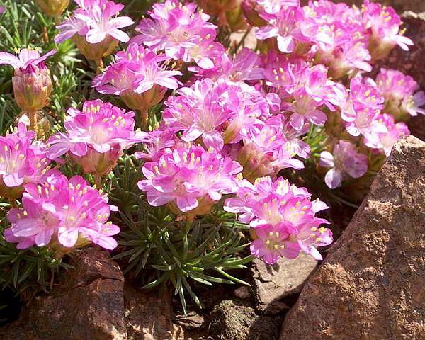 Цветок армерия фото Armeria juniperifolia