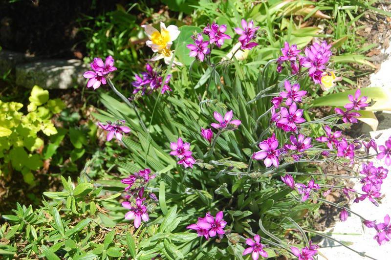 Цветок бабиана стрикта фото Babiana stricta