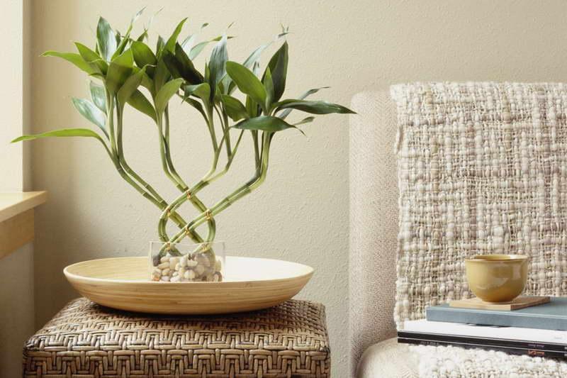 Цветок бамбук драцена в домашних условиях как ухаживать фото