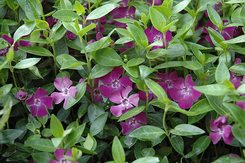Цветок барвинок сорт Винка минор атропурпуреа Vinca minor Atropurpurea фото
